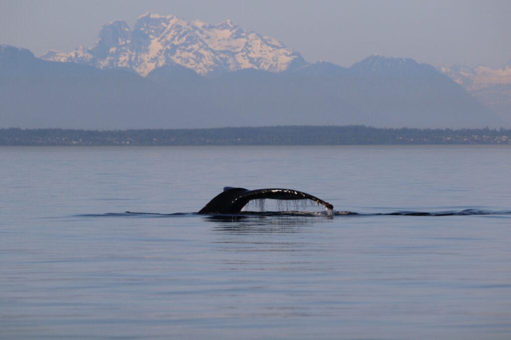 Orca off the coast of British Columbia