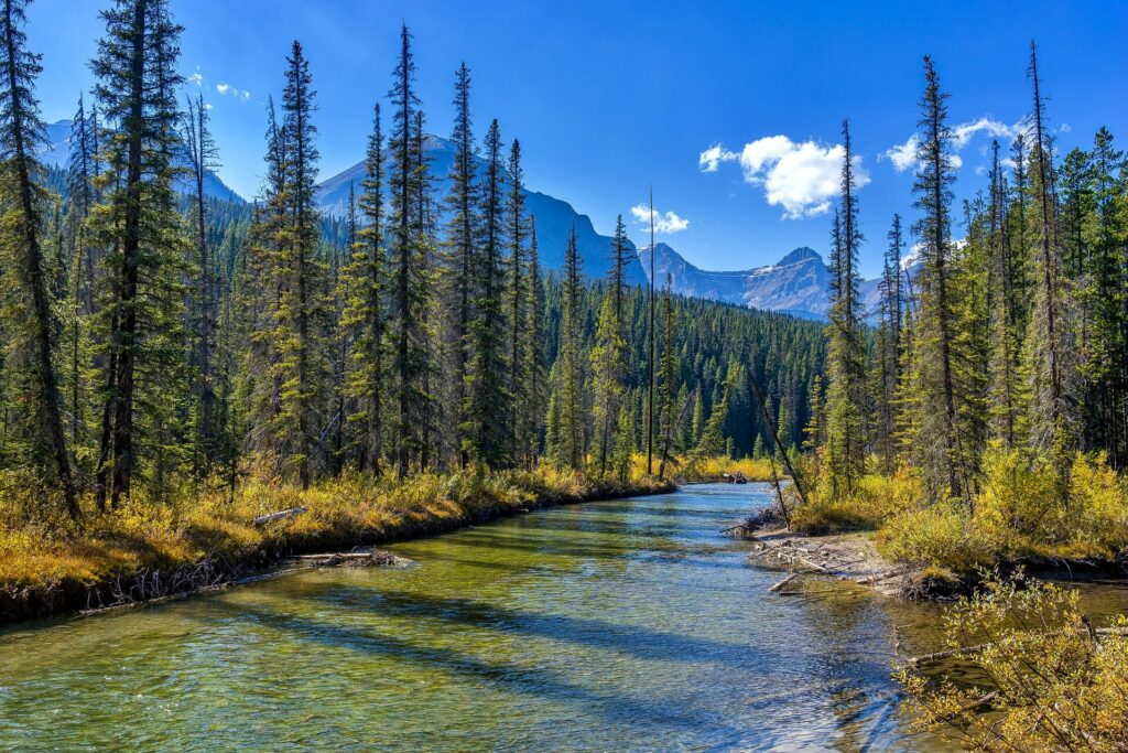 A clear, calm stream drifts between tall skinny pine trees with mountains in the backdrop in Jasper National Park Canada